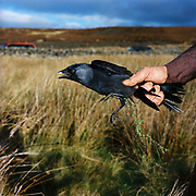 Niel Pearson, gamekeeper holding a jackdaw which he has caught in a larsen trap in Upper Nidderdale, North Yorkshire, UK. One of the gamekeepers main winter activities is to keep vermin such as jackdaws in control.
