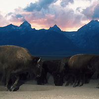 Bison19-A herd of bison at sunset in Grand Teton National Park.