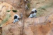 Goeldi's marmoset or Goeldi's monkey (Callimico goeldii), Haus Des Meeres, Esterhazy Park, Mariahilf, Vienna, Austria