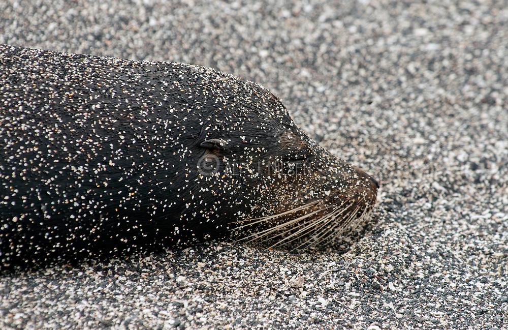 Galapagos sea lion (Zalophus wollebaecki) from Punta Espinoza, Fernandina, Galapagos.