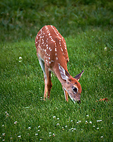 Fawn with spots in my backyard. Summer nature in New Jersey. Image taken with a Fuji X-T2 camera and 100-400 mm OIS telephoto zoom len (ISO 200, 400 mm, f/5.6, 1/60 sec).