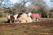A group of different horses eating hay outdoors in winter, Sutton, Suffolk, England