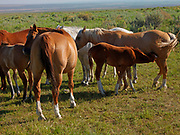 Colt nursing from mare, horses on ranchlands along the Strevell Road just north of the Utah border, Cassia County, Idaho.