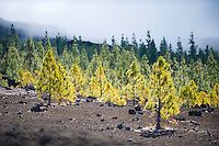 Canary pines (Pinus canariensis) over the black lava in the Chio area, Teide National Park, Tenerife Island, Canary Islands, Spain.