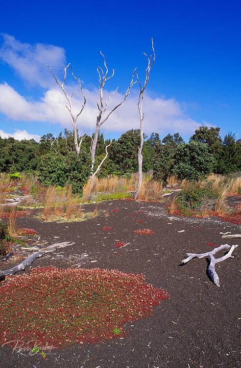 Dead trees and new vegetation along the Devastation Trail, Hawaii Volcanoes National Park, Hawaii