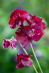Lathyrus odoratus 'Pip's Maroon'. Sweet pea (Can be used for Lathyrus 'Beaujolais')