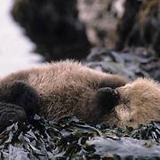 Sea Otter, (Enhydra lutris) A very young otter sleeps on rocks covered with seaweed. Aleutian Islands. Alaska.