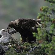 Golden Eagle adult feeding a chick. Montana