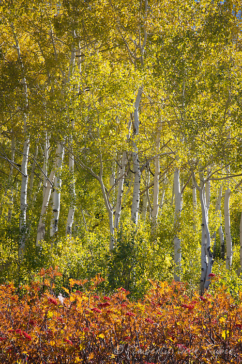 Fall colors on the slopes of Snowbird Ski Resort, Utah.