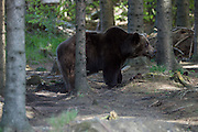 """Bear Lara at the Bärenwald (Bear Forest), a high security area for retired circus or dancing bears run by """"Vier Pfoten"""". Having been kept in a small cage during most of her life, she developed hospitalism and always runs back and forth in a very small spot, although she could make use of a huge area all to herself. This should get better over time."""