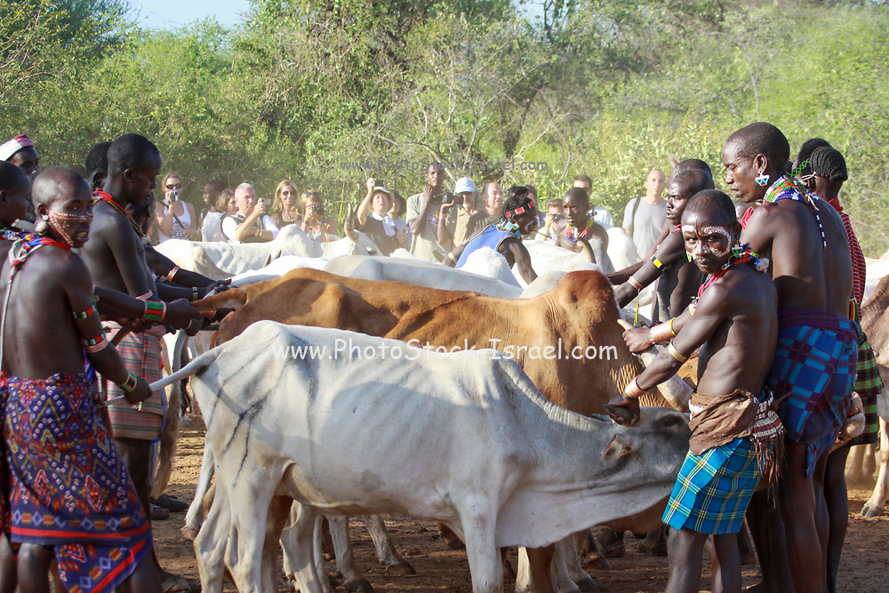Africa, Ethiopia, Omo River Valley Hamer Tribe The Jumping of the Bulls ceremony. The initiate leaps onto a line of ten or more of his family's bulls and runs along their backs. The herd of bulls is being lined up