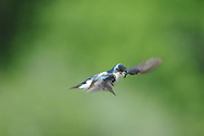 Tree swallow cruising low through the sky at  nature center in upstate, NY.