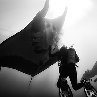 A giant oceanic manta ray (Manta birostris) at El Boiler, Revillagigedo, Mexico. Mantas just love bubbles and approach the diver that delivers the biggest amount of them.  <br />