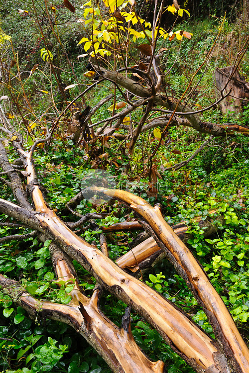 Troncos árbol y hojas verdes. Almansa. Albacete Castilla La Mancha. España. Europa ©ANTONIO REAL HURTADO / PILAR REVILLA