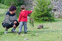 Alpine marmot being fed by visitors, Marmota marmota, Taraxacum vulgare, Homo sapiens, Guillestre, Queyras, France, Europe