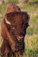 Bison bull in Theodore Roosevelt National Park, North Dakota, USA