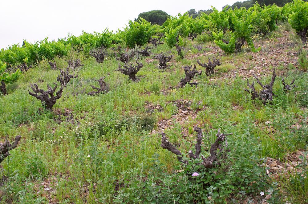 Vineyard. Grenache. Domaine Boucabeille, Corneilla la Riviere, Roussillon, France