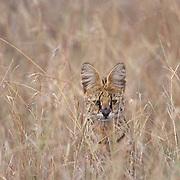 Serval, (Felis serval) Masai Mara Game Reserve. Kenya. Africa.