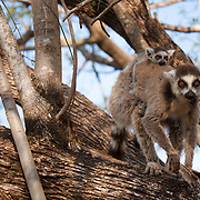 Ring-tailed lemur mother with a young baby, Berenty Reserve, Madagascar