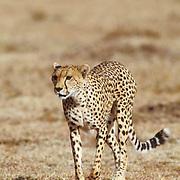 Cheetah, (Acinonyx jubatus) Masai Mara Reserve. Kenya, Africa.
