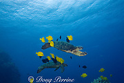 green sea turtles ( Chelonia mydas ) being cleaned by herbivorous fish that graze algae off of turtle's shell, at cleaning station, Kona, Hawaii ( Central Pacific Ocean ); cleaner fish include yellow tangs ( Zebrasoma flavescens ) and gold-ring surgeonfish ( Ctenochaetus strigosus )