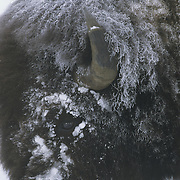 Bison near Old Faithful during the winter in Yellowstone National Park, Wyoming.