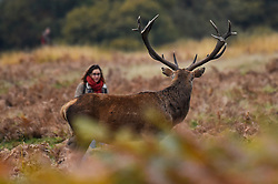 © Licensed to London News Pictures. 09/11/2019. LONDON, UK. A tourist walks very close to a red deer stag in Richmond Park during the annual rut.  The rut occurs during October and November where stags compete for mating rights.   Members of the public are advised to remain 50m or more away from the deer during this time. Photo credit: Stephen Chung/LNP