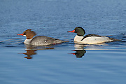 Stock Photo of Common Merganser captured in Colorado.  Common mergansers are the largest of the three mergansers in North America.