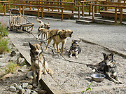 In Denali National Park and Preserve  the only national park in America with a working kennel  sled dogs perform essential wintertime duties in a vast expanse of designated Wilderness area. Visit Denali's Alaskan huskies in the park kennels where rangers and dogs demonstrate a traditional Alaskan mode of travel. Sled dogs are important for patrols because snowmobiles are prohibited within the boundaries of the former Mount McKinley National Park. Alaskan huskies (sled dogs) are not a particular breed nor are they crosses of purebred dogs. They are the product of hundreds of years of breeding dogs for running and pulling sleds in cold weather. Alaskan huskies have a strong desire to run and pull, have a thick two-layer coat of fur, a bushy tail, long legs, and great demeanor. Bred for performance rather than looks, huskies vary widely in appearance.