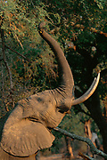 African elephant reaching upo with trunk to feed on seed pods.  Manu pools NP, Zimbabwe {Loxidonta africana}
