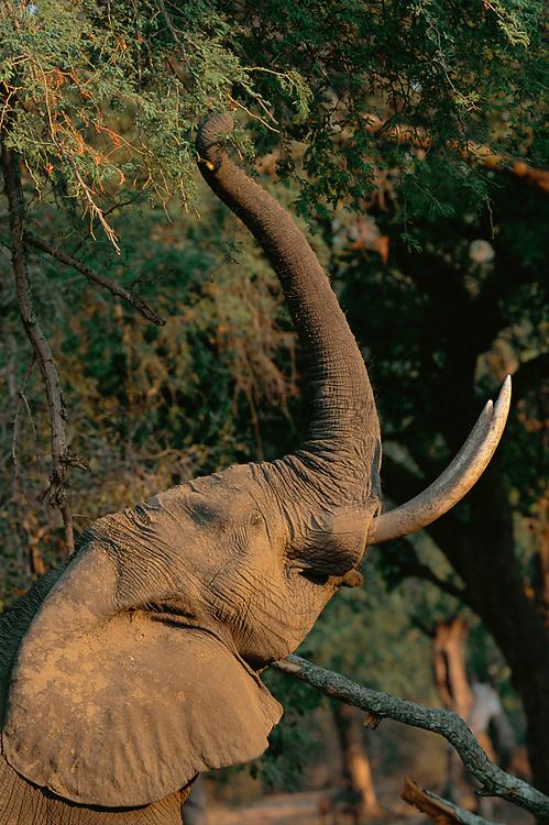 African elephant reaching upo with trunk to feed on seed pods.  Manu pools NP, Zimbabwe {Loxidonta africana}