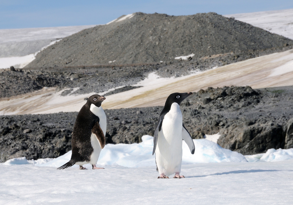 Two Adélie penguins (Pygoscelis adeliae) at their nesting colony in Hope Bay. Hope Bay, Antarctica. 02Mar16