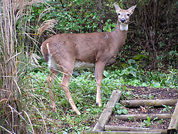 October 2009: A white tail deer is spotted in the middle of Galena looking for food in mid-morning. Sights to see in and around Galena Illinois. (Photo by Alan Look)
