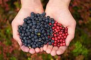 Berry picking, Blueberries, Vaccinium myrtilius, Lingonberry, Vaccinium vitis-idaea, Laponia World Heritage Area, Lapland, Sweden.