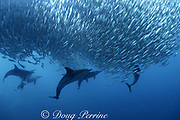 long-beaked common dolphins, Delphinus capensis, feeding on a baitball of sardines, Sardinops sagax, during annual Sardine Run along the Wild Coast, Transkei, South Africa ( Indian Ocean ) ( Cape fur seal in center background )