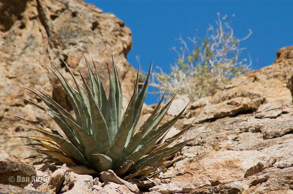 Desert agave, Agave deserti, Organ Pipe Cactus National Monument, Arizona.