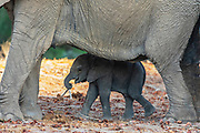 A small desert elephant calf (Loxodonta africana cyclotis) standing in the safety and shade of its mother, Skeleton Coast, Namibia
