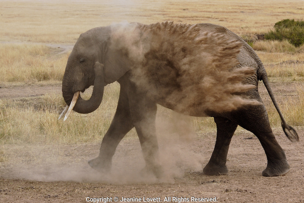 Elephant uses  trunck to throw dirt to take a dust bath. The dirt is used as a form of sunscreen.