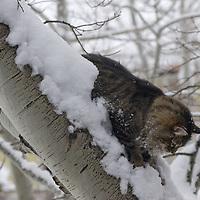 A cat named Tavi perches in a snowy aspen tree near Bozeman, Montana