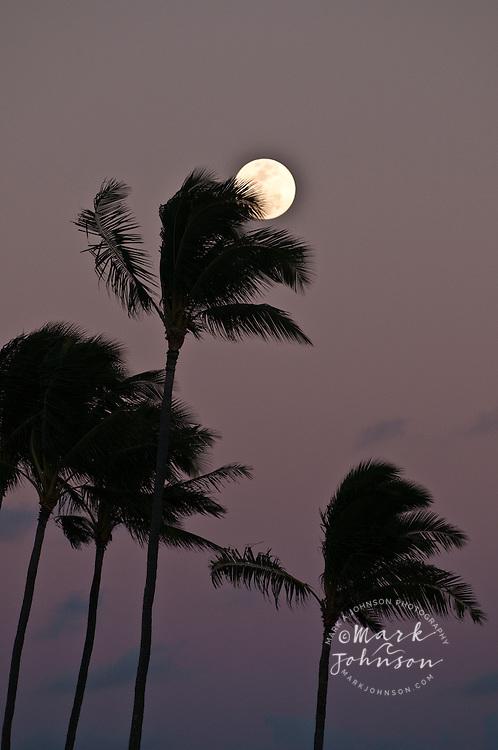 Coconut Tree grove, Kauai, Hawaii