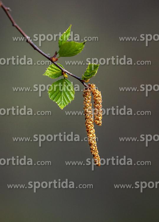 THEMENBILD - Birkenzweige mit Blüten und Blättern, aufgenommen am 28. April 2018, Kaprun, Österreich // Birch branches with flowers and leaves on 2018/04/28, Kaprun, Austria. EXPA Pictures © 2018, PhotoCredit: EXPA/ Stefanie Oberhauser