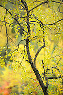 Birch tree, Betula L by the Oulanka River, Finland.