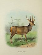 Malayan sambar (Rusa unicolor hainana) from the book ' The deer of all lands : a history of the family Cervidae, living and extinct ' by Richard Lydekker, Published in London by Ward 1898