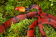 Tropical Flat Snake (Siphlophis compressus)<br /> Yasuni National Park, Amazon Rainforest<br /> ECUADOR. South America<br /> HABITAT & RANGE: Usually found near or on the ground in tropical forests east of the Andes.