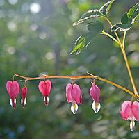 Bleeding Heart flowers (Lamprocapnos spectabilis) growy in a shady garden near Bozeman, Montana.