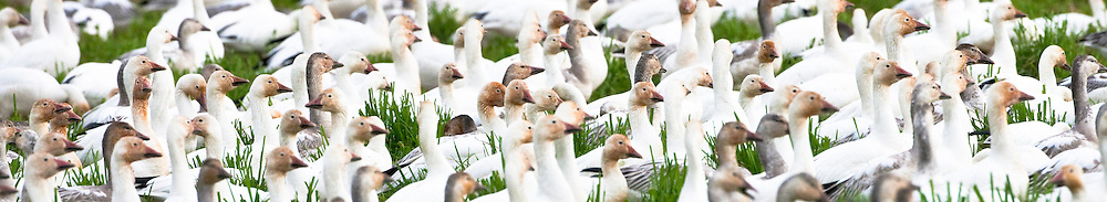 Snow Geese (Chen caerulescens) flock resting and feeding while they winter at Fir Island, Skagit River Delta, Puget Sound, WA, USA