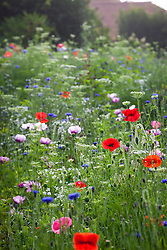 Corn poppies, cornflowers, gypsophila and Bishop's Flowers in the pictorial meadow. Papaver rhoeas, Centaurea cyanus, Gypsophila elegans, Ammi majus. (syn. Field poppy)
