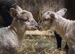 © Licensed to London News Pictures. 08/01/2017. Fetcham, UK. Days old lambs keep warm in a barn on Barracks farm. 80 ewes are expected to give birth to 80-90 lambs for the Easter market. The farm is owned by the Conisbee family who have  supplied their own butchers shops in nearby Horsley for over 250 years. Photo credit: Peter Macdiarmid/LNP