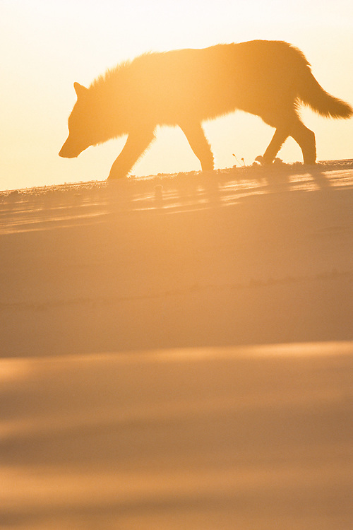 Wolf, Canis lupus, Toropets, Russia, controlled conditions