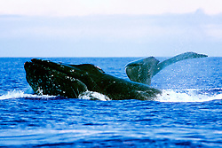 male humpback whale in competitive group, lunging by female whale fluke, Megaptera novaeangliae, Hawaii, Pacific Ocean